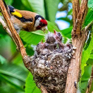 Cazadores denuncian: «Prohíben el silvestrismo pero podan árboles con nidos de jilguero y verderón»