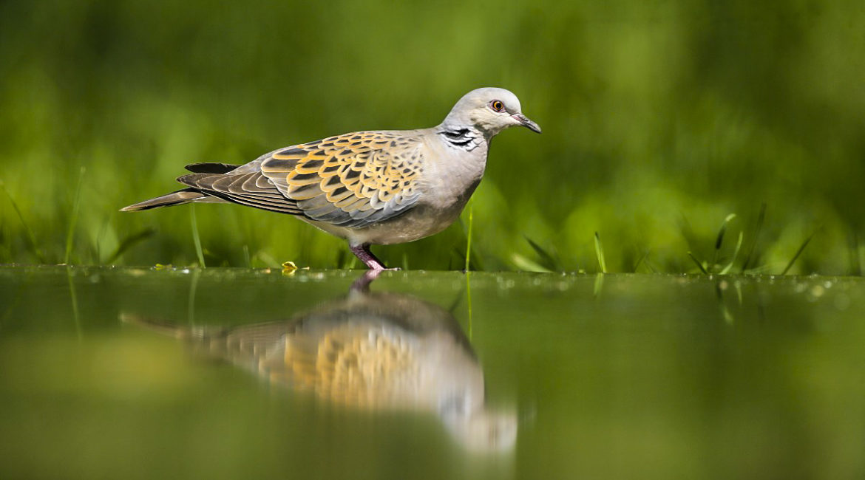 La Comisión de Transición Ecológica instará al Gobierno a conservar la tórtola contando con los cazadores
