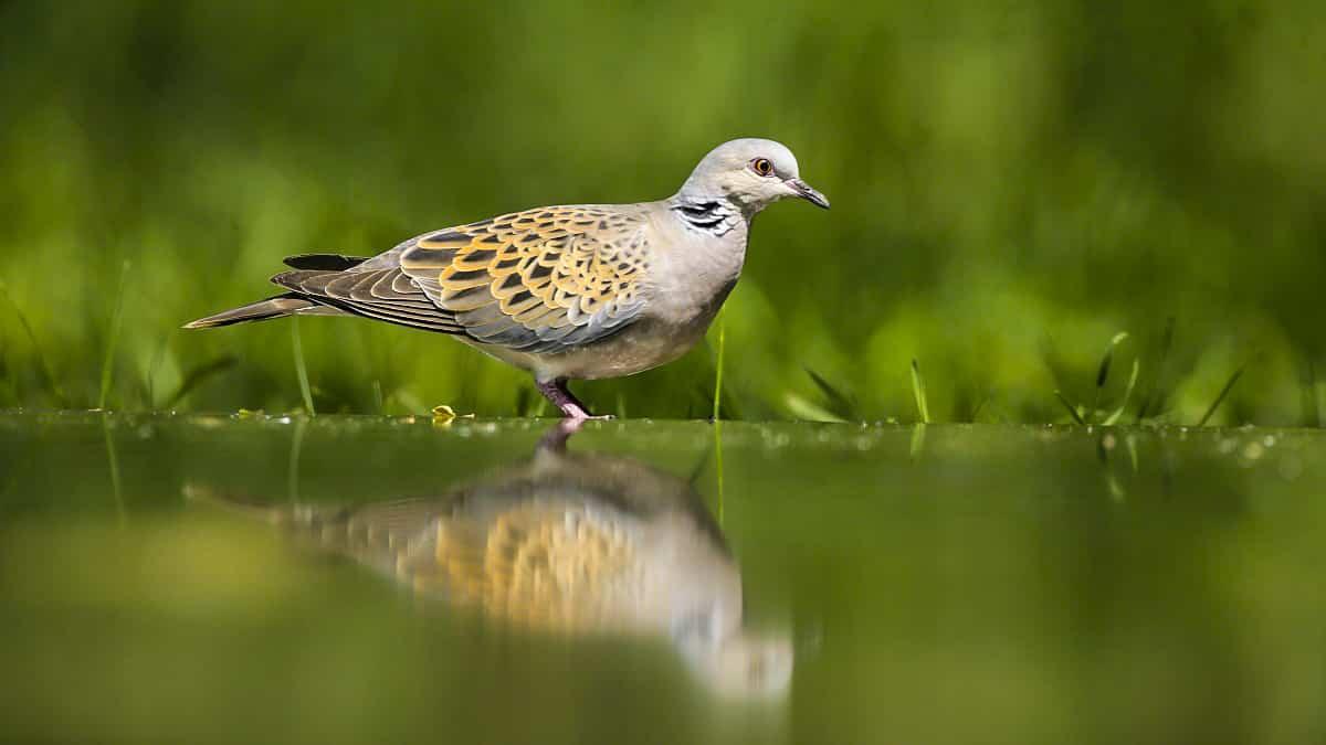 La Comisión de Transición Ecológica instará al Gobierno a conservar la tórtola contando los cazadores