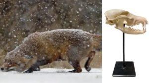 Cómo conservar un cráneo de zorro