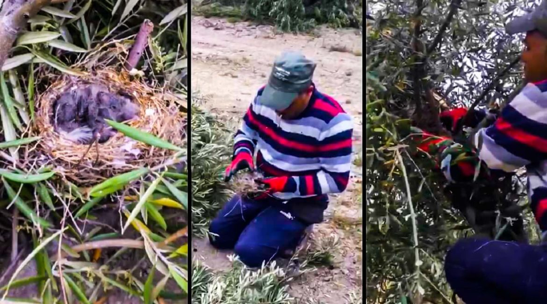 Salvan un nido de verderón que había caído al suelo durante una poda de olivos