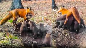 Graban a una zorra intentando amamantar a 14 cachorros a la vez