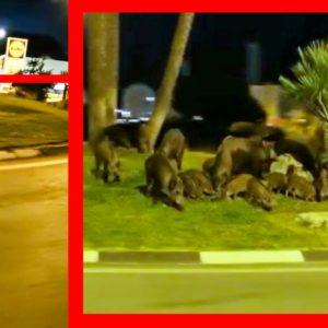 Casi 30 jabalíes se concentran a las puertas de un Lidl de Alicante