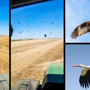 Más de 80 rapaces y 100 cigüeñas rodean a un agricultor para engullir pollos de perdiz y codorniz