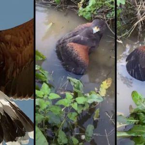 El águila de Harris de un cetrero caza un conejo y lo sumerge bajo el agua