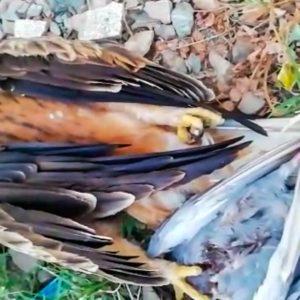 Encuentra a un águila electrocutada con la paloma que acababa de cazar aún entre sus garras