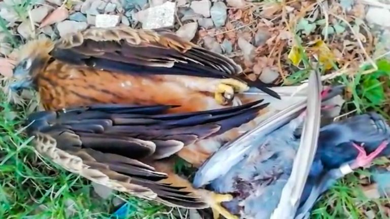 El águila, con la paloma. ©YouTube
