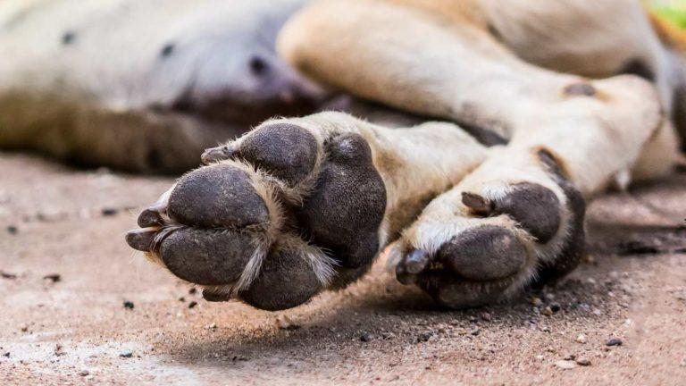 Pata de perro. ©Shutterstock