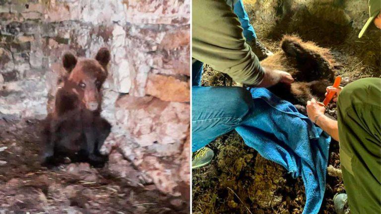 Imagen del oso en la cuadra. © Principado de Asturias