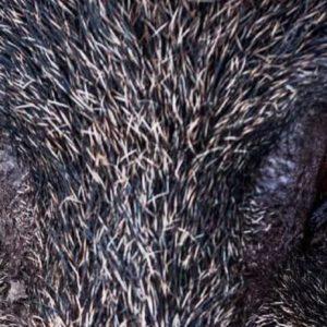Un jabalí ataca y mata a un cazador tras cortarle la arteria femoral en Italia