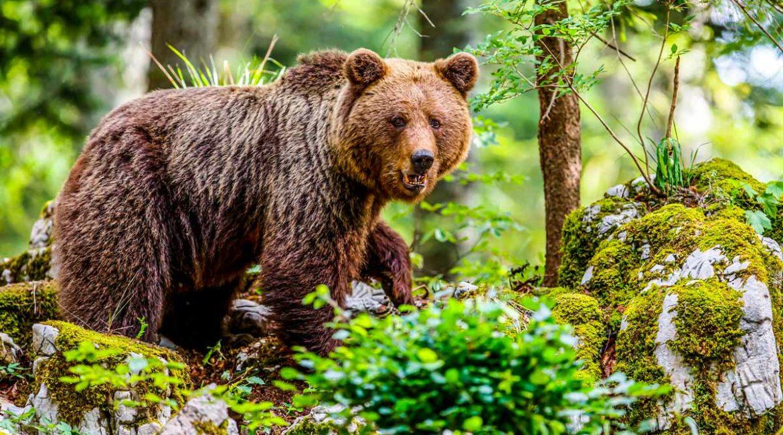 Así han sido los 10 ataques de oso a humanos registrados en España desde 1999