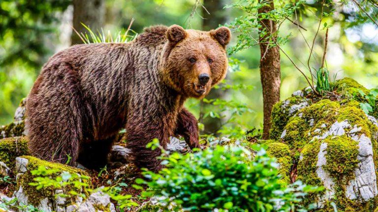ataques-de-oso-en-españa