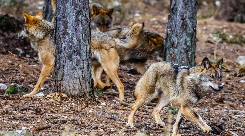 ¿Cuántos lobos hay realmente en España?