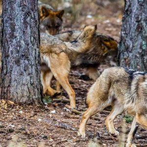 El Gobierno quiere prohibir la caza del lobo sin saber cuántos hay realmente