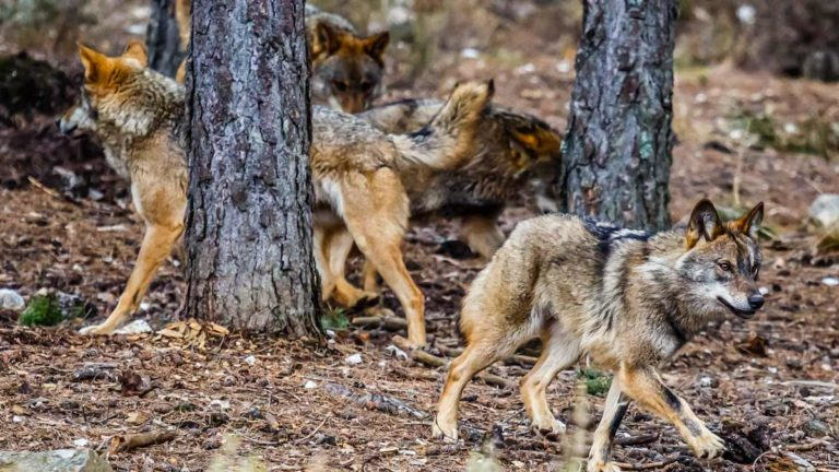 Grupo de lobos en Sanabria. ©Shutterstock