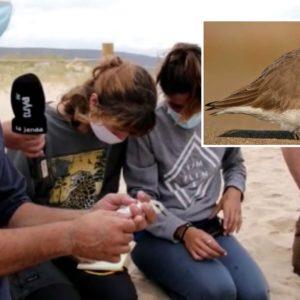 Ecologistas anillan un chorlitejo con el nombre de 'Cartucho' en honor a una sociedad de cazadores