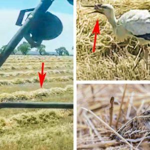 Un agricultor graba cómo una cigüeña da caza a una codorniz y la engulle