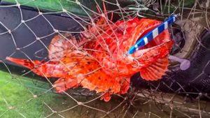 ¿Cómo quitar el anzuelo a un pez venenoso?