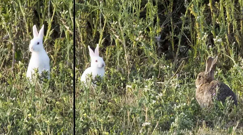 ¿Habías visto un conejo de monte totalmente blanco? Este cazador lo ha fotografiado