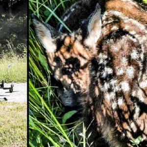 Así evitan los cazadores franceses que muchas crías de corzo mueran durante la cosecha
