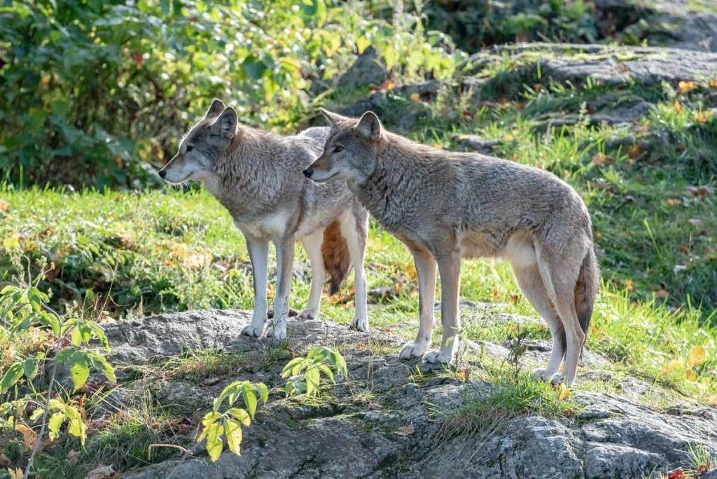 Imagen original de los coyotes (antes del montaje de PACMA).