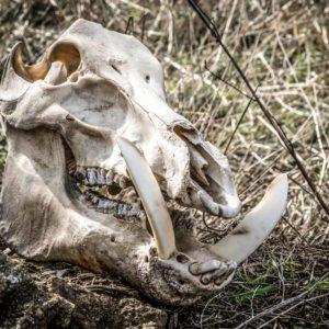 Dinamarca mata a todos sus jabalíes para evitar la peste porcina africana