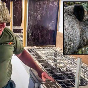 El Pencho captura un jabalí vivo con unos colmillos extraordinarios