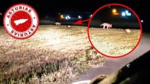 Un gato se encara con un lobo ibérico y lo expulsa de un pueblo de Asturias