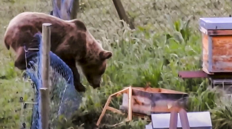 Un oso es atacado por cientos de abejas cuando intentaba 'robarles' la miel