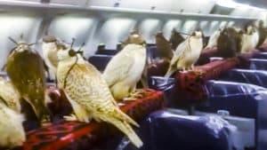 Un jeque fleta un avión para transportar a los halcones con los que caza