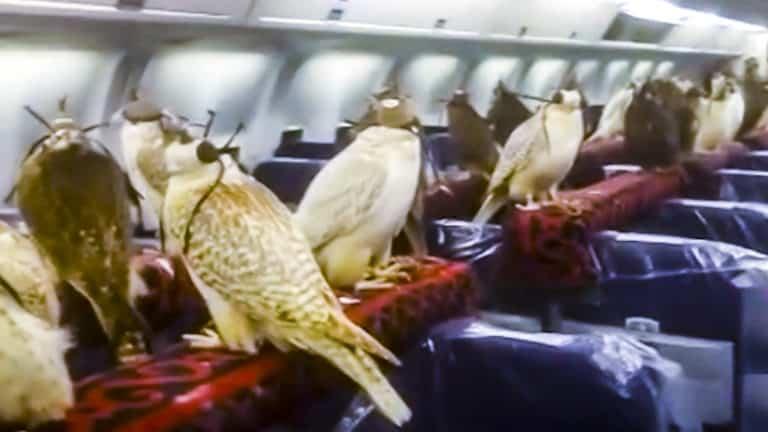 halcones avión