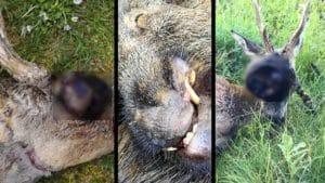 Cinco animales aterradores cazados en España