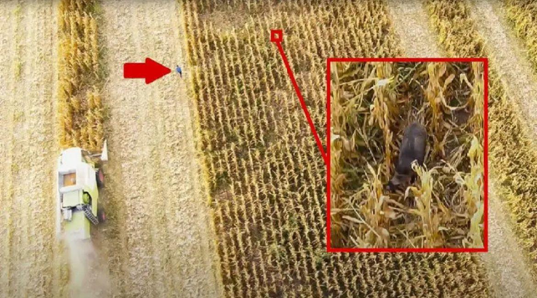 Un gran jabalí juega al gato y el ratón con este agricultor