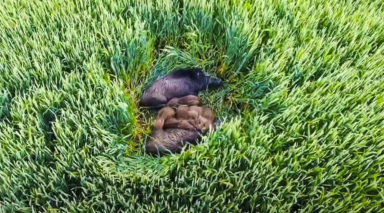Vuela un dron sobre una siembra y descubre este tesoro: una familia de jabalíes durmiendo