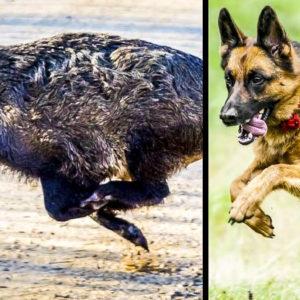Este pastor alemán caza jabalíes en batida como el mejor puntero de una rehala