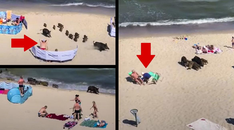 Una piara de jabalíes irrumpe en una playa abarrotada y siembra el pánico entre los bañistas