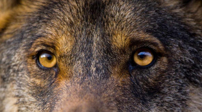 El lobo mata 28 ovejas junto a un pueblo y en pleno Camino de Santiago