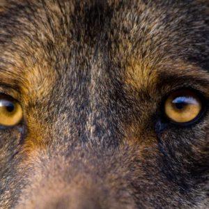 Este es el listado de los 50 lobos más grandes cazados en España (actualizado en 2021)