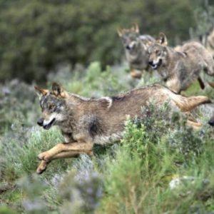 Finaliza el plazo para presentar alegaciones contra la prohibición de la caza del lobo