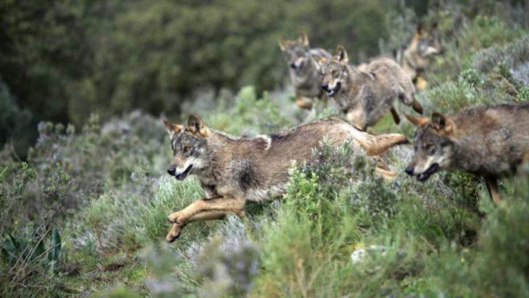 lobos andalucia
