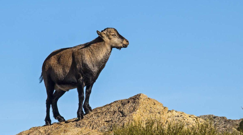 Un cazador graba por primera vez a un macho montés sin cuernos en Granada