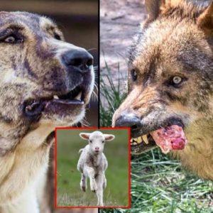 Un lobo 'caza' a un cordero delante del pastor y esta es la reacción de su mastín