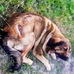 Este es el estado en el que regresó un mastín perdido durante siete días en terreno de osos
