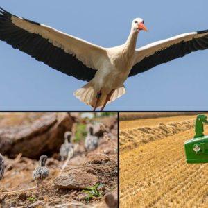 Graba una 'nube' de rapaces y cigüeñas tras cosechar un campo ¿Cómo afecta a la perdiz?