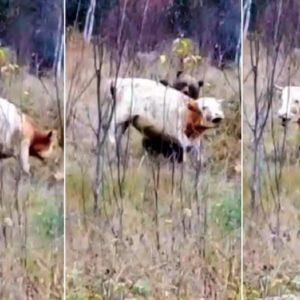 Sorprenden a un oso intentando cazar a un toro y lo graban
