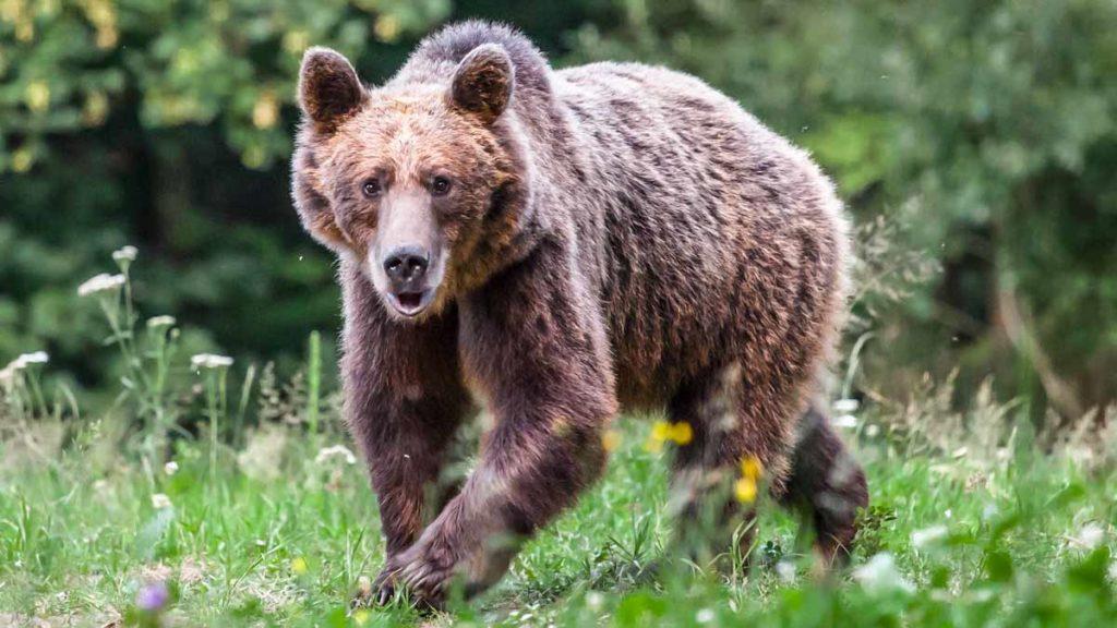 oso pardo ataque