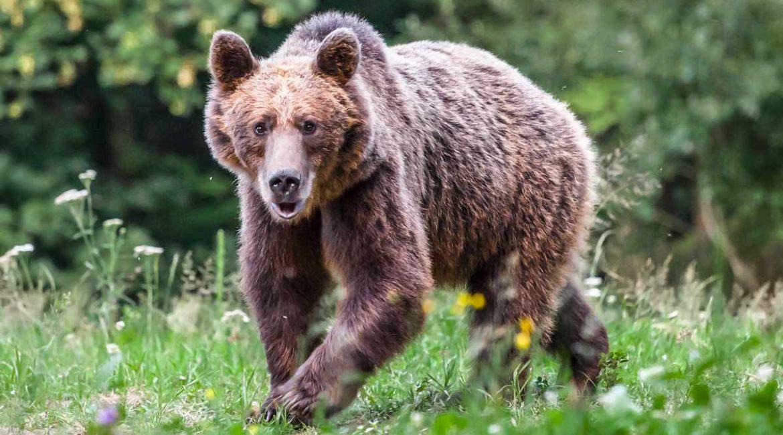 ¿Qué debes hacer si ves un oso en el norte español este verano?