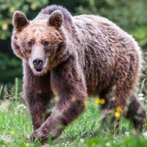 Ataques de oso: cómo son, cómo prevenirlos y cómo reaccionar ante ellos