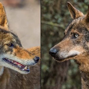 PACMA confunde un coyote americano con un lobo ibérico mostrando su desconocimiento sobre animales