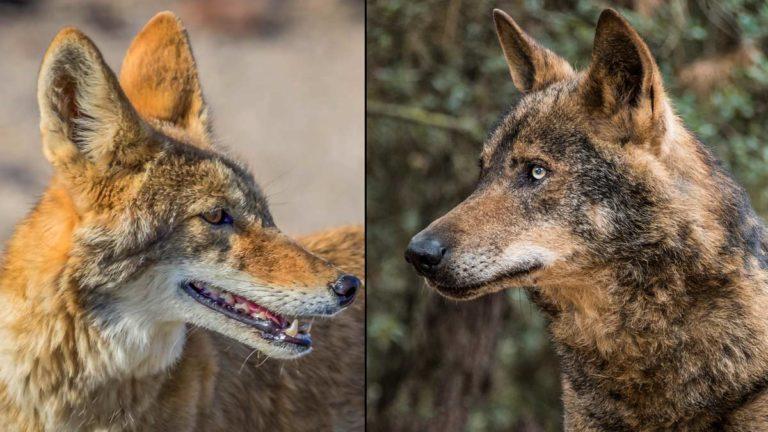 Coyote y lobo. © Shutterstock